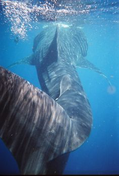 Swam with a wild whale shark - Belize Underwater Creatures, Underwater Life, Ocean Creatures, Swimming With Whale Sharks, Under The Ocean, Wale, Deep Blue Sea, Mundo Animal, Koh Tao