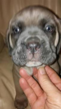 Litter Of 6 Cane Corso Puppies For Sale In Rochester Ny Adn 71585 On Puppyfinder Com Gender Fe Puppies For Sale Cane Corso Puppies Labrador Puppies For Sale