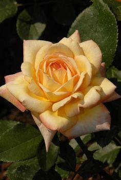 'Glowing Peace'   Grandiflora, Hybrid Tea Rose.