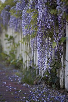 Wisteria picket fence I have a lot of whisteria. Look great on this fence Hydrangea Petiolaris, Dame Nature, Dream Garden, Garden Inspiration, Beautiful Gardens, Outdoor Gardens, Flower Power, Planting Flowers, Beautiful Flowers