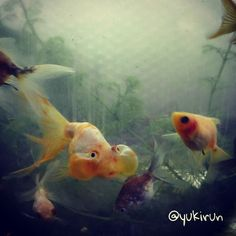 我が家の金魚たち #goldfish #japanese #fish #pet