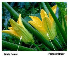 Zucchini blossom male & female@CSU 23jul04 LAH 033s