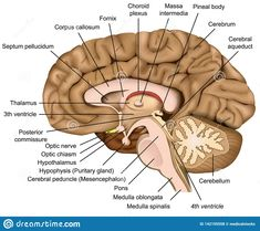 Anatomy Lab Models Brain Labeled Gallery Model Of The ...