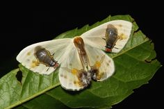 The Moth with Flies on it's Wings | by John Horstman (itchydogimages, SINOBUG)