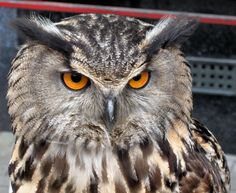 european eagle owl - Google Search