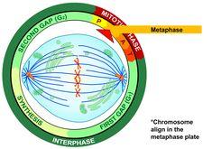 La metafase es la segunda fase de la mitosis y de la meiosis que sucede después de la profase en donde esta pierde la envoltura y aparecen los microtúbulos del huso acromático (también llamado meiótico o mitótico).