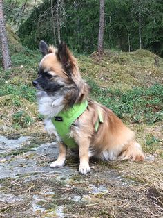 Chihuahua Dogs, Chihuahuas, Poses, Animals, Figure Poses, Animales, Animaux, Chihuahua, Chihuahua