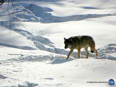 Séjour linguistique en Laponie avec le CEI  #Laponie #Lapland #CEI #voyage #travel #sejourlinguistique #winter #nature #snow #wolf #loup