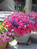 Full-Sun Container Garden Ideas - Bing images