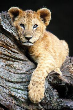 Kleiner Prinz by Marko Sarcevic on Baby Animals Super Cute, Cute Animals, Beautiful Cats, Animals Beautiful, Cute Tiger Cubs, Baby Lion Cubs, Wild Animals Photos, Wild Lion, Cute Lion
