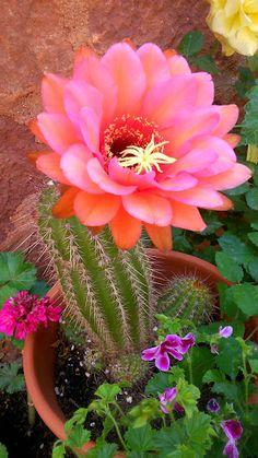 Pink cactus flower desert activities pinterest cactus flower yaynlardaki fotoraflar more cactus mightylinksfo