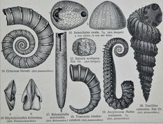 Old book plate, Antique illustration. x inches. *** Need to look at work for actual PLATES from survey publications. I'm curious. Antique Illustration, Ammonite, Natural Shapes, Prehistoric, Geology, Art Sketches, My Design, Period, Creatures