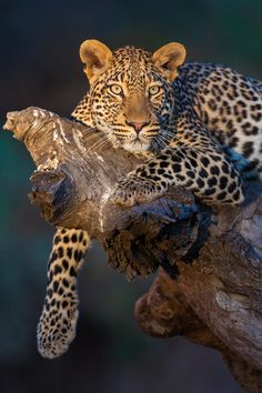 Leopard Stare Mashatu Game Reserve Botswana by Isak Pretorius.take a rest Nature Animals, Animals And Pets, Cute Animals, Baby Animals, Beautiful Cats, Animals Beautiful, Grand Chat, Gato Grande, Exotic Cats