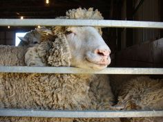 8 Best Sheep images in 2012 | Sheep, Wool, Sheep breeds