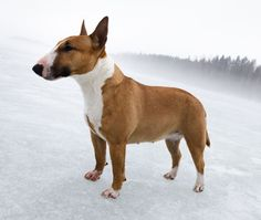 miniature bull terrier, I love these dogs ! They're adorable