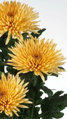 chrysanthemums, flowers, yellow, three, flower
