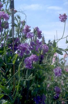 Towers of sweet peas climbing high and sending out rich aroma