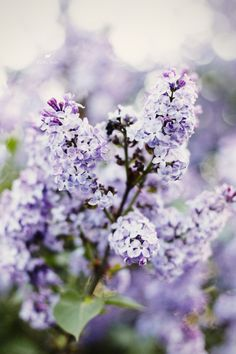 May The lilacs unfolded. Just outside my door is a large lilac tree. Today it blossomed out and the lovely smell surrounds my house. What a wonderful season it is! My Flower, Purple Flowers, Spring Flowers, Beautiful Flowers, Purple Lilac, Lilac Tree, Purple Rain, Spring Colors, Garden Inspiration