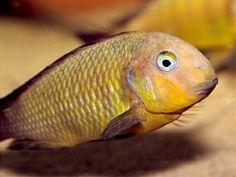 1000+ images about Dope cichlids on Pinterest Cichlids, African ...