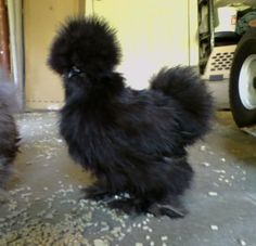 Black Silkie...so cute! ( this is another kind of chicken i might hopefully have this weekend. ) they are adorable!