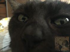 Egyptian Mau-black smoke-beautiful cats-Katzenblog Egyptian Mau, Black Smoke, Beautiful Cats, Dog Cat, Dogs, Animals, Pretty Cats, Animales, Animaux