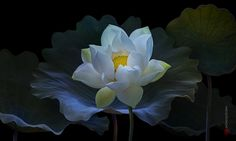 lotus by duongquocdinh