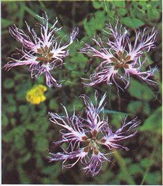 Nellike - Dianthus - haveabc.dk