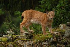 Lynx from Šumava (CZE)