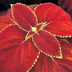 Giant Exhibition Rustic Red coleus - Annual Flower Seeds
