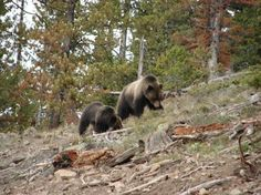 yellowstone wildlife pictures - Google Search