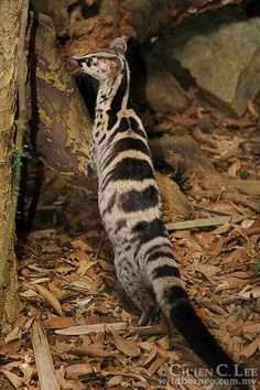 Owston's Palm Civet - Chrotogale owstoni - Vietnam - Pin This Interesting Animals, Unusual Animals, Rare Animals, Animals Beautiful, Animals And Pets, Funny Animals, Strange Animals, O Pokemon, Tier Fotos
