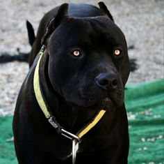 Dog that looks like a black panther
