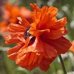 www.rustica.fr - Choisir sa variété de pavot d'Orient - 'May Queen'