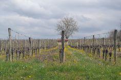 Vineyards near Buzet sur Baïse