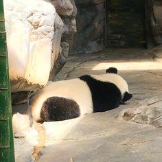 15 months panda