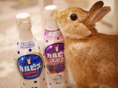 * * * あなたもだんだん カルピス飲みたくな〜るう . #カルピス #calpis  #体にピース  #うさぎ #ふわもこ部 #ネザーランドドワーフ #instagood #netherlanddwarf #instaanimal #rabbit #rabbitstagram #lapin  #bunny #bunnystagram #lumixgm1 #愛しのこはる