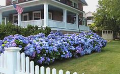 Endless Summer Hydrangea - our experts can guide you on how to get this shrub to bloom either blue or pink!
