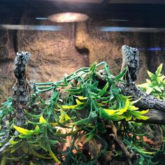 Frilled dragons just chilling out at the top of their enclosure at Reptile Rapture. Reptiles, Lizards, Green Iguana, Cute Wild Animals, Reptile Enclosure, Chilling, No Frills, Dragons, Top