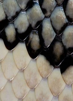 Scales / color inspiration / black and white / monochromatic / texture / pattern / nature / art / Patterns In Nature, Textures Patterns, Color Patterns, Print Patterns, Beautiful Patterns, Natural Forms, Natural Texture, Art Texture, Chocolate Pictures