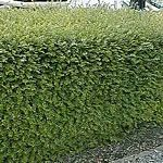 Lonicera Hedge (Lonicera nitida)
