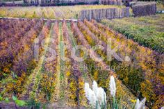 Autumn on the Orchards, New Zealand royalty-free stock photo