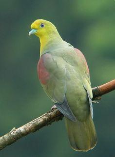Birds in Thailand: White-bellied Green-Pigeon