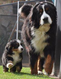 Cão mãe e cão filhote dando um passeio. Olhar de rabo de olho...rs