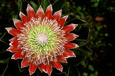 protea | ... 55-6 | Photo ©David Sanger | Flowers, King Protea , Protea Cynaroides