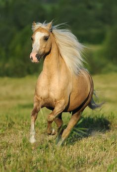 I would LOVE a Welsh pony some day! I think they look just like a Barbie horse!!!  <3 'Rovols Divine' - Welsh Pony Section B.