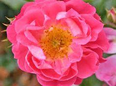Bildergebnis für rose charmant