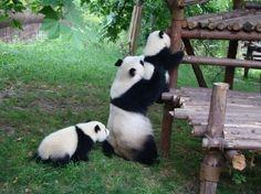 #funny#pandas