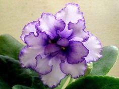 African Violet * Lyon's Spectacular huge blooms