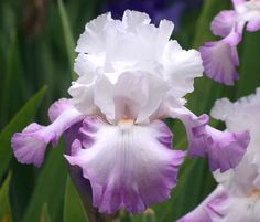 TB Iris germanica 'O'So Pretty' (Kegerise, 1992)