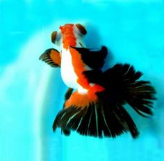 This is a beautiful: Tricolor butterfly demekin !!! This is not a Moor, what many people believe. The name 'Moor' means 'black', the Moor goldfish is therefore always black .. when the same kind of fish has more colors, the fish is a Demekin. A Demekin varies in many colors, including red, white, yellow, blue, orange, or black combined with another color.